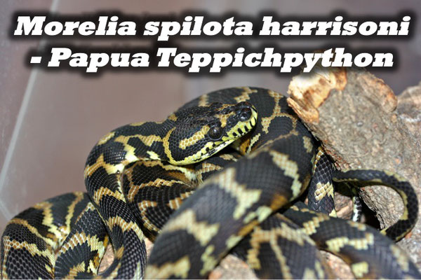 Morelia spilota harrisoni - Papua Teppichpython