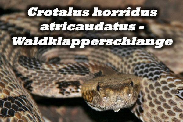 Crotalus horridus atricaudatus - Waldklapperschlange
