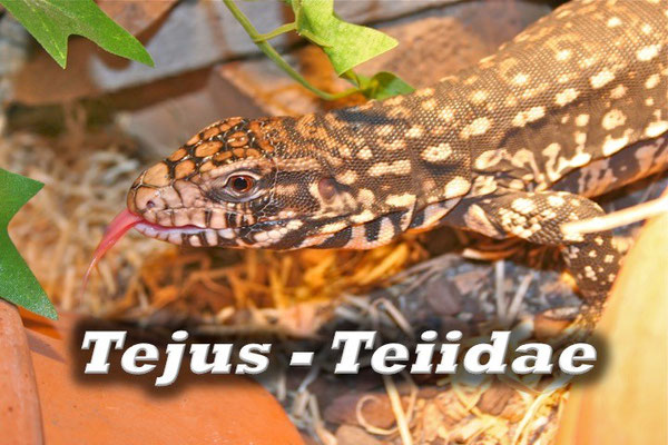 Tejus - Teiidae