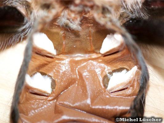Buchlunge oder Fächerlunge einer Brachypelma boehmei gleich nach der Häutung