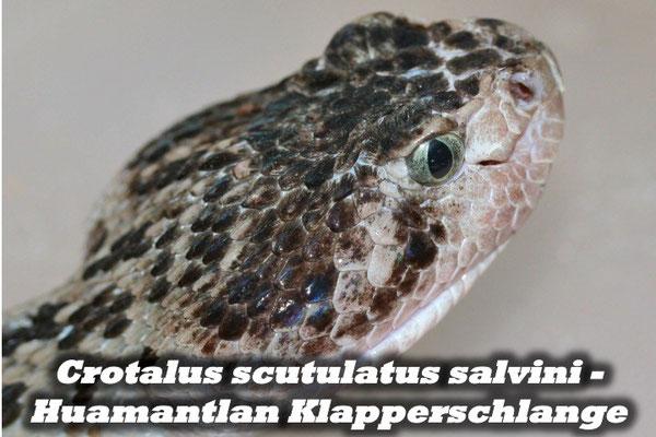 Crotalus scutulatus salvini - Huamantlan Klapperschlange