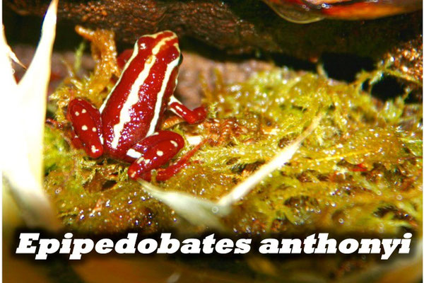 Epipedobates anthonyi
