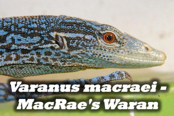 Varanus macraei - MacRae's Waran