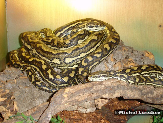 Morelia spilota crossing  1.1