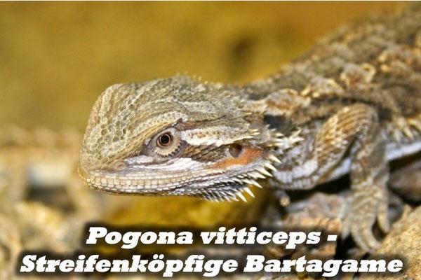 Pogona vitticeps - Streifenköpfige Bartagame