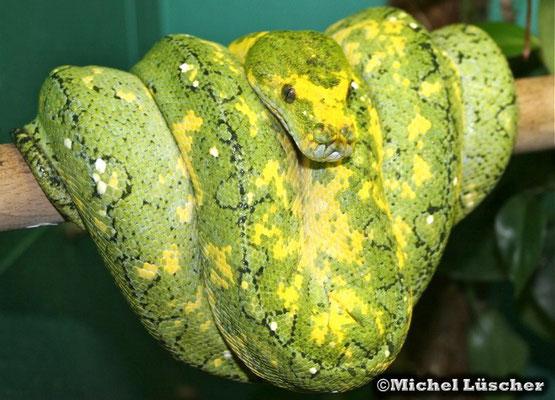 Morelia viridis biak  0.1
