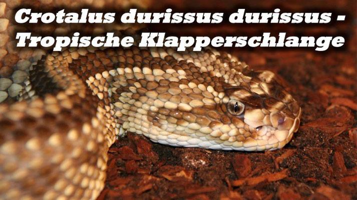 Crotalus durissus durissus - Tropische Klapperschlange
