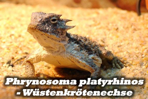 Phrynosoma platyrhinos - Wüstenkrötenechse