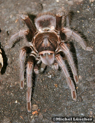 Phormictopus atrichomatus  0.1