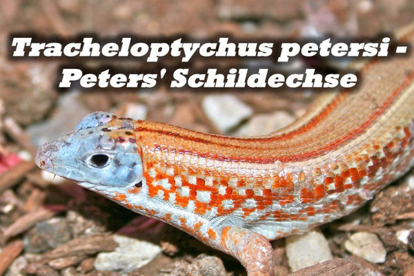 Tracheloptychus petersi - Peters' Schildechse