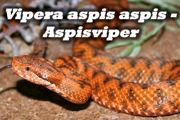 Vipera aspis aspis - Aspisviper (Massif central)