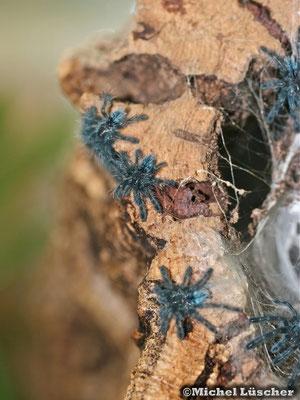 Avicularia versicolor Nachwuchs