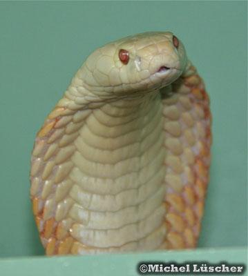 Naja kaouthia (albino)  1.0