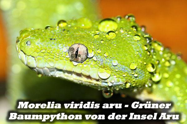 Morelia viridis aru - Grüner Baumpython von der Insel Aru