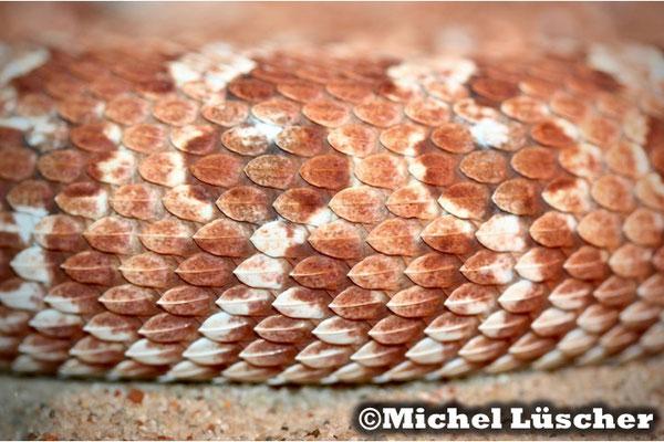 Bitis caudalis Namaqualand Schuppen