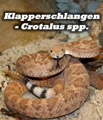 Klapperschlangen - Crotalus spp.