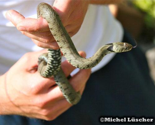 Das Tier wurde natürlich wieder an seinem Fundort ausgesetzt! Artenschutz ist mir sehr wichtig und diese Schlangen sind in der Schweiz geschützt!