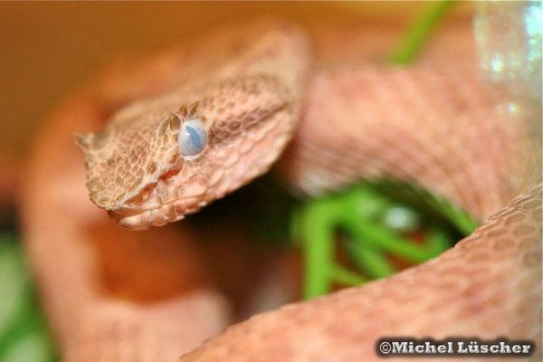 Bothriechis schlegelii  1.0 kurz vor der Häutung wie man am milchigen Auge sehr gut erkennen kann.