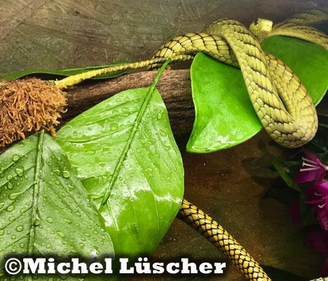 Dendroaspis viridis  1.0