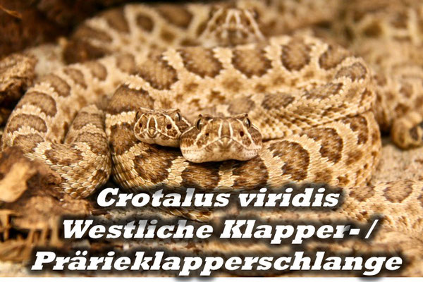 Crotalus viridis - Prärieklapperschlange