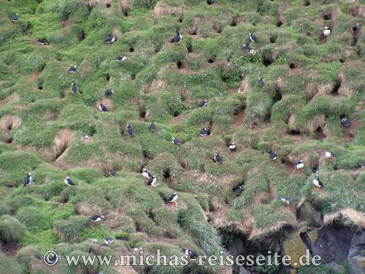 Papageientaucher auf dem Vogelfelsen in Bakkagerdhi