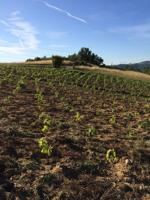 New plantation of Syrah, spring 2016
