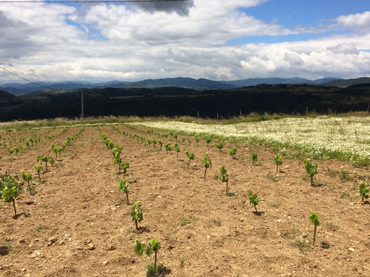New plantation of Marsanne, spring 2016