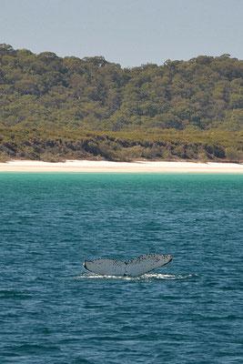 Vue sur la baleine avec en fond une plage paradisiaque