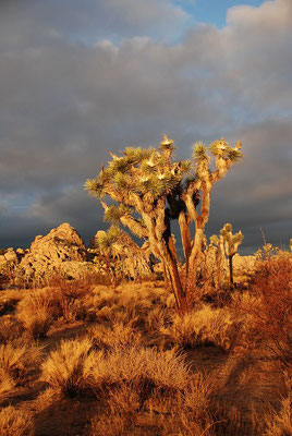 Joshua Tree National Park - Jarek Tuszyński / CC-BY-SA-3.0 & GDFL [CC BY-SA 3.0 (http://creativecommons.org/licenses/by-sa/3.0) or GFDL (http://www.gnu.org/copyleft/fdl.html)], via Wikimedia Commons