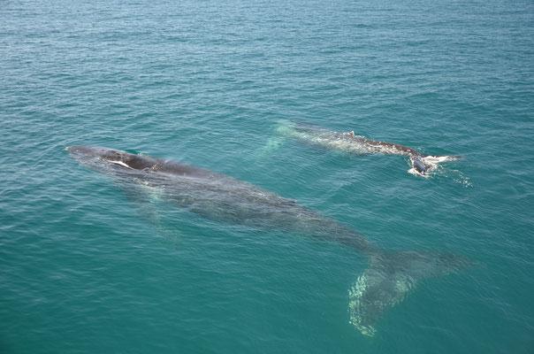 Une baleine avec son petit