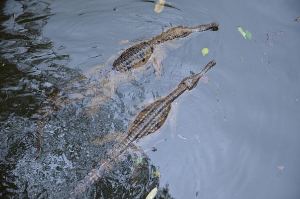 Voir les crocodiles à Hartley's Crocodile Advanture !