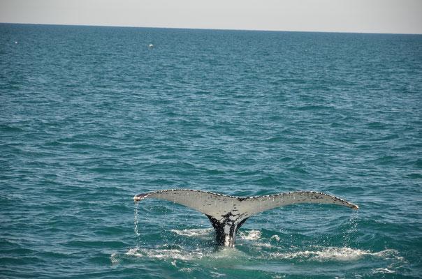 La nagoire arrière de la baleine est son empreinte qui la différencie des autres.