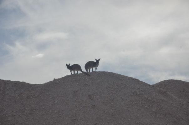 Kangourous à Coober Pedy