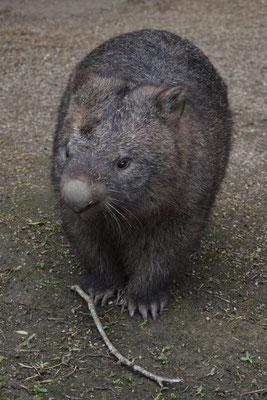 Un wombat dans le Koala Gardens de Kuranda Village