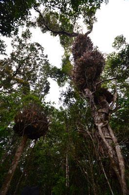 Vue sur les immenses arbres de la forêt tropicale de Kuranda !
