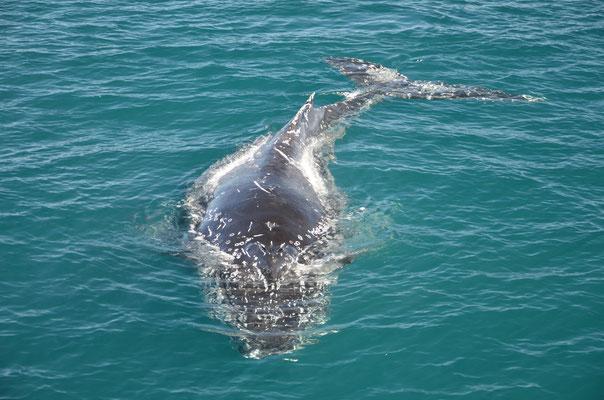 Une baleine arrive en direction du bateau avant de passer dessous
