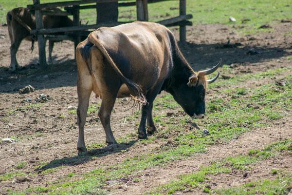 Les vaches préhistoriques au Parc du Thot