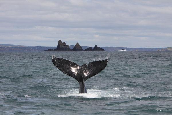 Vue sur les baleines à l'ouest de Cork - Source : Ireland Tourism - Auteur : Padraig Whooley
