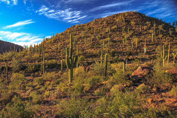 Saguaro National Park - By Murray Foubister [CC BY-SA 2.0 (http://creativecommons.org/licenses/by-sa/2.0)], via Wikimedia Commons