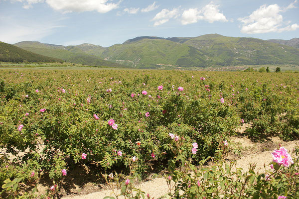 La vallée des roses en Bulgarie - By Anton Lefterov (Own work) [CC BY-SA 3.0 (http://creativecommons.org/licenses/by-sa/3.0)], via Wikimedia Commons