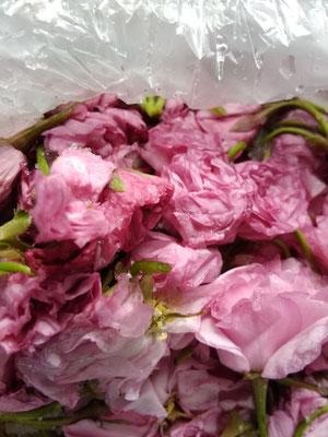ヤエザクラの花の塩漬け。藻塩と酢を入れ、桜茶などに使います