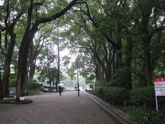 樟脳の香りがする大木 クスノキ 並木