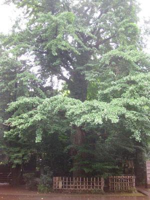 樹齢600年の大銀杏