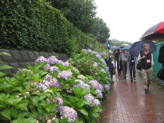 まだまだ見頃の紫陽花