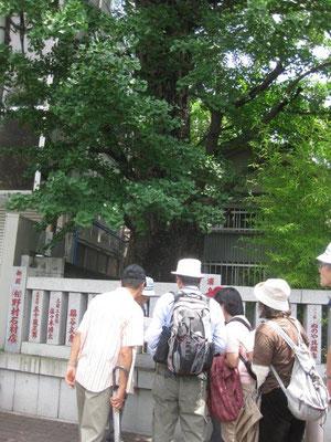 火伏の銀杏(熊野神社)