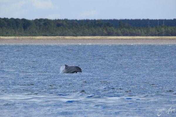 Delfine am Chanonry Point