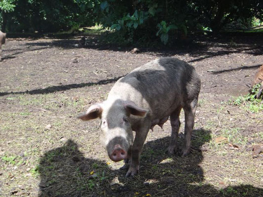 Frei laufende Schweine