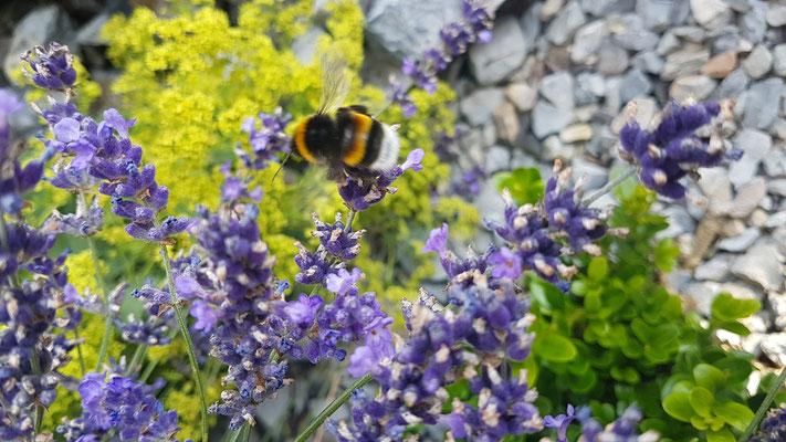 Hummel auf Lavendelblüten (Foto: SR)
