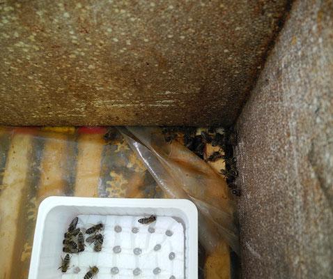Abb. rechts: Notfütterung funktioniert natürlich auch zur Not von oben! Man legt am besten eine Honigfutterteigspur zum leichteren Auffinden. Nachteilig ist der etwas weitere Weg zum Futter wegen des Verkühlens. Am besten wartet man eine etwa mildere Wett