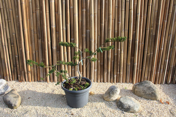 taxus (if) - takanshitate. 250€